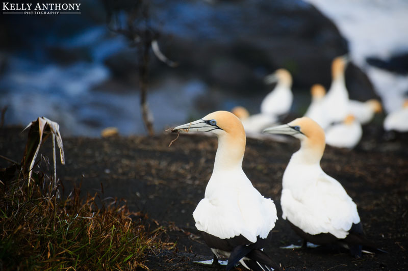 muriwai gannet colony New Zealand photography